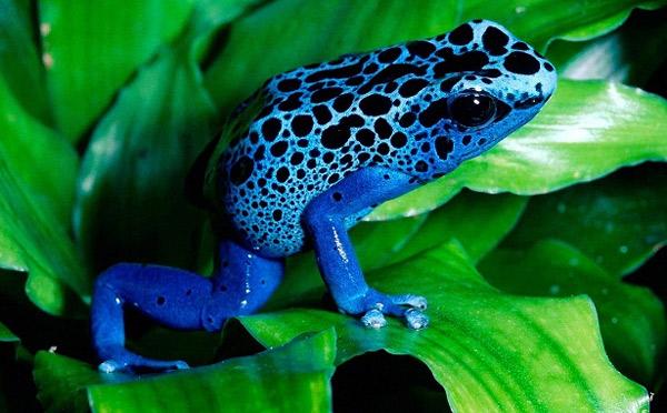 Ядовитые древолазы - Самые ядовитые и опасные лягушки