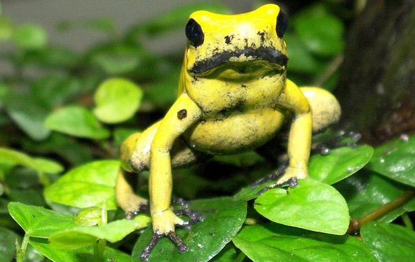 Ядовитая лягушка африканская - Самые ядовитые и опасные лягушки