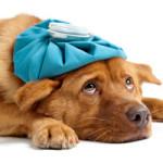 Симптомы болезни у собаки. Как узнать, что питомцу нездоровится?