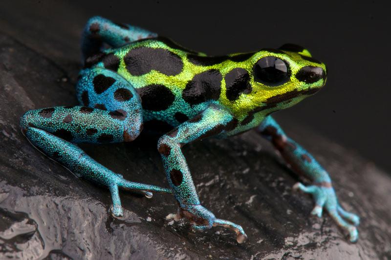 Ядовитые лягушки: Древолаз Циммермана