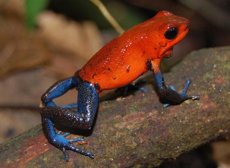 Ядовитые лягушки: Маленький древолаз