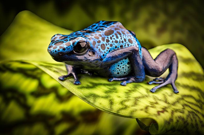 Ядовитые лягушки: Голубой древолаз
