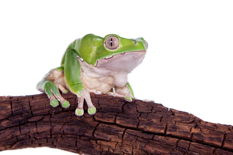 Ядовитые лягушки: Двухцветная филломедуза