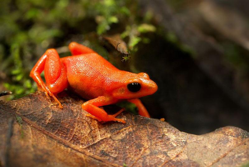Ядовитые лягушки: Золотая мантелла