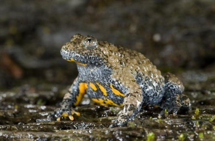 Ядовитые лягушки: Краснобрюхая жерлянка
