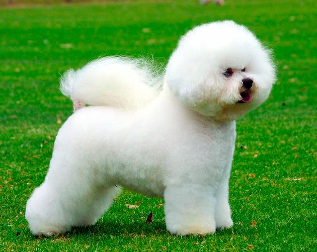 Бишон можно относити к декоративным собакам и собакам-компаньонам