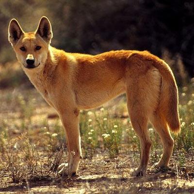 Собака динго – дикая и властная