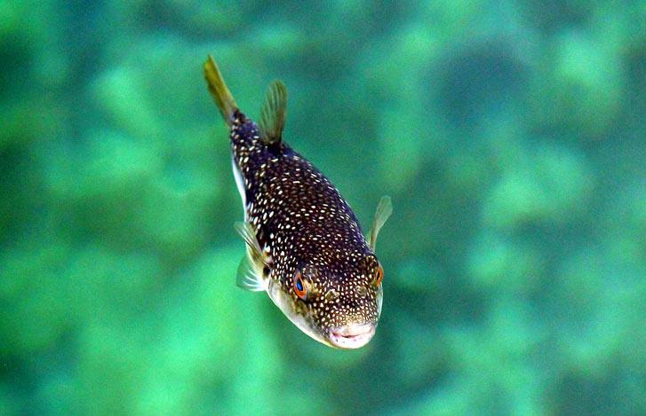 В Японии в 1958 году был издан закон, согласно которому, повара, допущенные к работе с такой ядовитой рыбой, должны получать специальную лицензию.