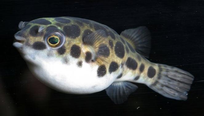 Рыба, относящаяся к роду Takifugu, занимает весьма почётное место в современном японском искусстве и восточной культуре.