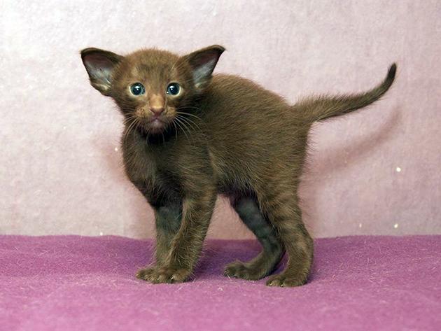 Средний цена на ориентальную кошку в районе 15-50 тысяч рублей