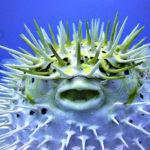 Ядовитая рыба Фугу – опасный деликатес