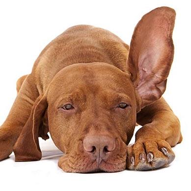 Ушной клещ у собаки