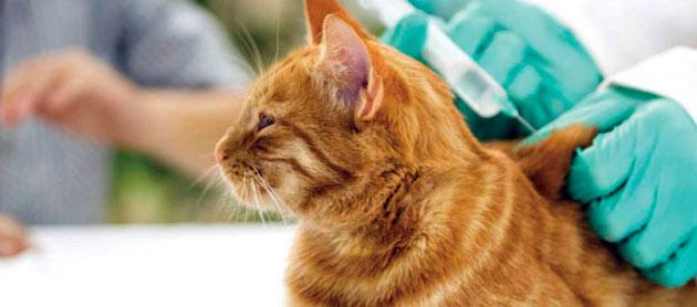 Своевременная вакцинация - лучший метод профилактики бешенства у кошки