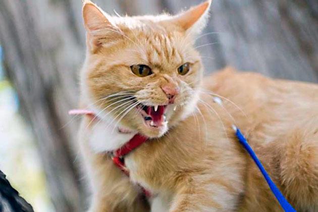 При бешенстве у кошки, на первой стадии, наблюдается повышенная агрессивность и гиперактивность