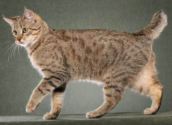 Самые большие породы кошек - Пикси-боб