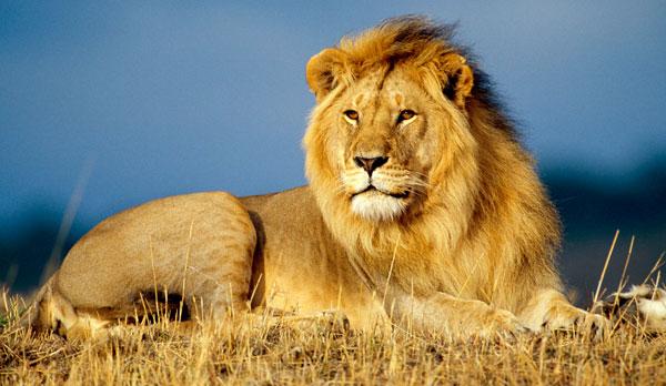 Африканский лев - могучий хищник