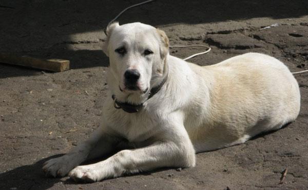 Самые большие собаки - Алабай