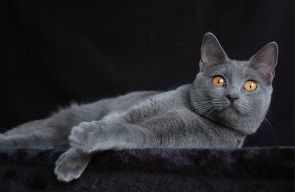 Самые большие породы кошек - Шартрез (Картезианская кошка)