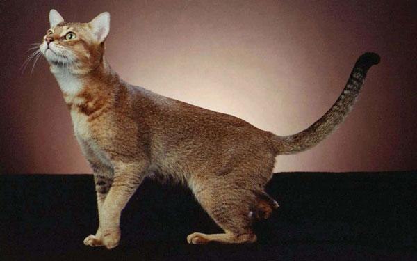 Самые большие породы кошек - Чаузи
