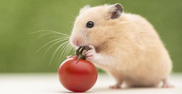 Чем можно кормить хомяка