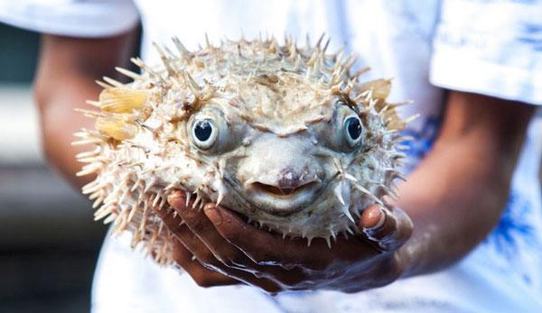 Самые ядовитые животные в мире - Фугу или Иглобрюх