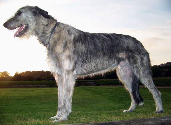 Самые крупные породы собак - Ирландский волкодав