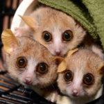 karlikovye-lemury-main