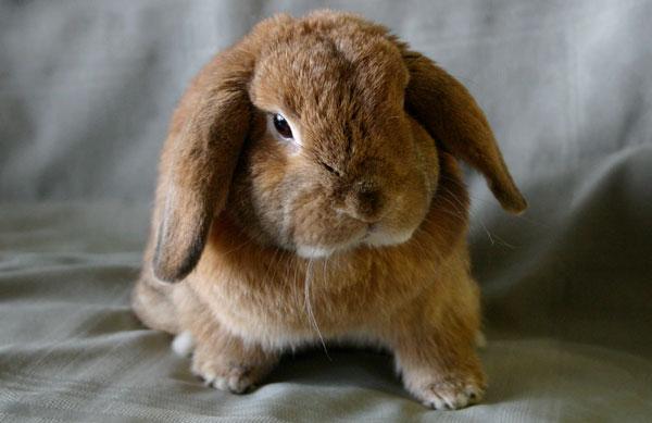 Вислоухий кролик Карликовый баран - содержание, уход, питание. купить