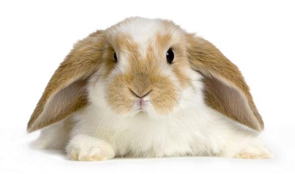 Вислоухий кролик - карликовый баран