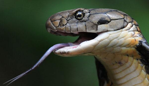 Самые ядовитые животные в мире - Королевская кобра