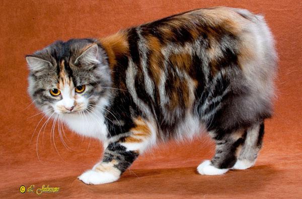 Самые большие породы кошек - Курильский бобтейл