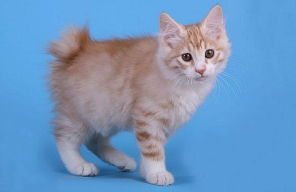 Курильский бобтейл - породы кошек