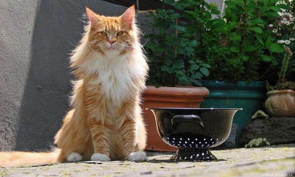 Самые большие породы кошек - Мейн-кун