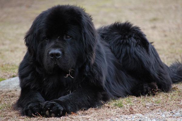 Самые большие породы собак - Ньюфаундленд