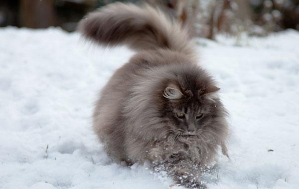 Самые большие породы кошек - Норвежская лесная кошка