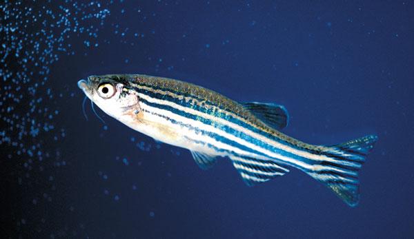 Память у рыбы - мифы и реальность