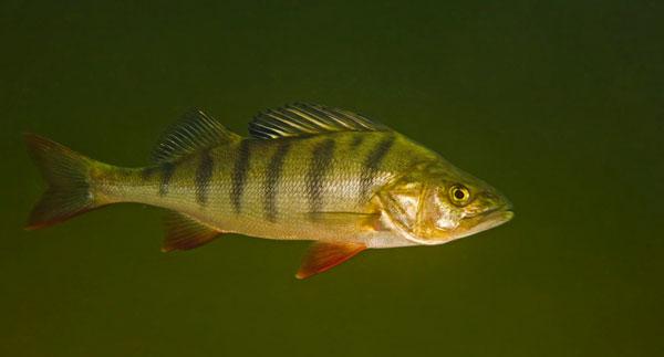 Память рыбы 3 секунды или сколько память у рыб