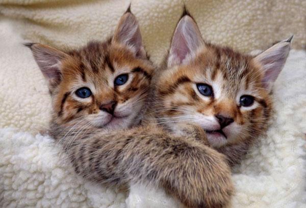 Порода кошек: Пикси-боб - описание, содержание, уход, питание, купить