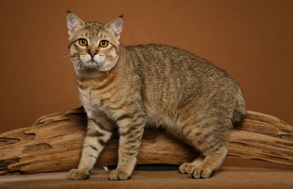 Порода кошек - Пикси-боб