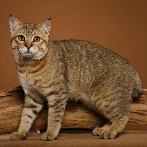 Порода кошек — Пикси-боб