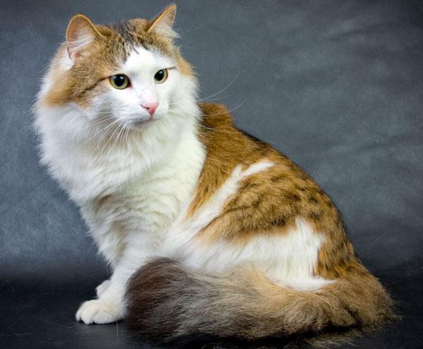 Самые большие породы кошек - Рагамаффин