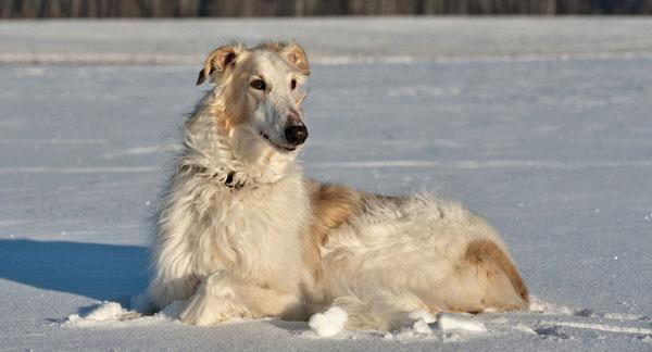 Самые крупные породы собак - Русская псовая борзая
