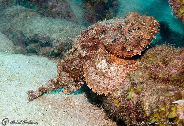 Самые ядовитые животные в мире - Рыба-камень