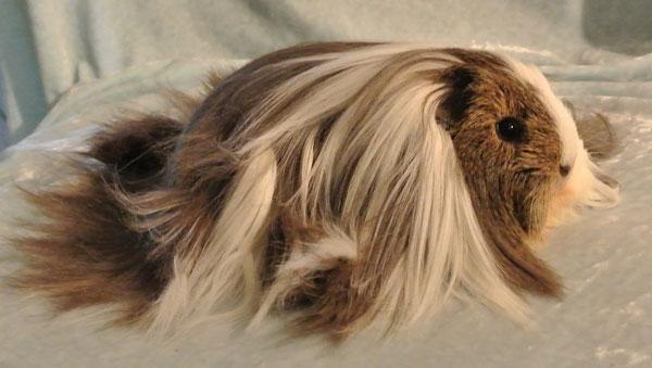 Морская свинка Шелти - описание, уход, содержание, питание, купить
