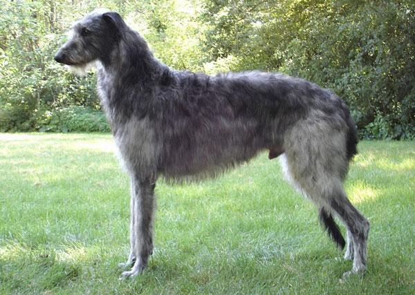 Самые большие породы собак - Шотландский дирхаунд