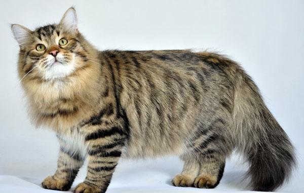 Самые большие породы кошек - Сибирская кошка