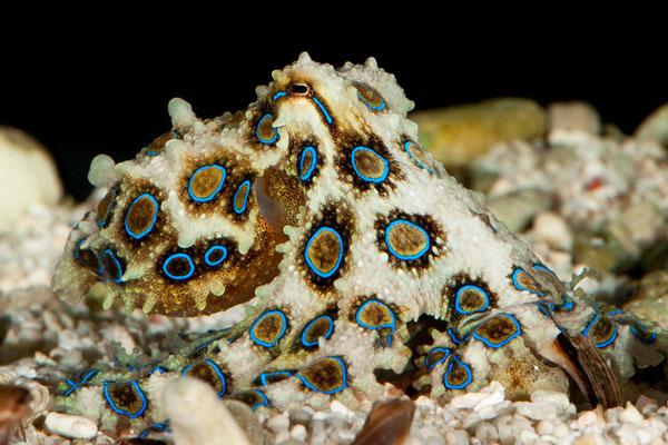 Самые ядовитые животные в мире - Синекольчатый осьминог
