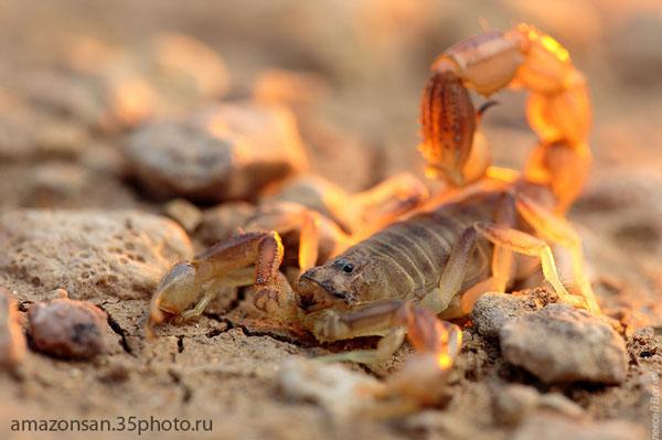 Самые ядовитые животные в России - Ядовитые скорпионы