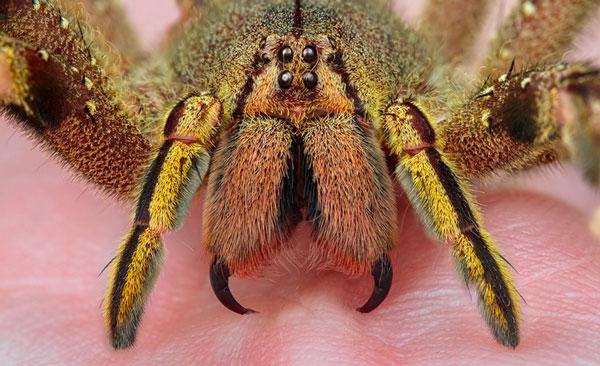 Самые ядовитые животные в мире - Странствующий паук Бразилии