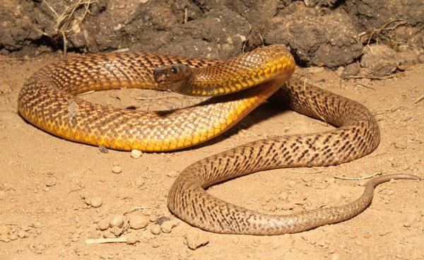 Самые ядовитые животные в мире - Тайпан Пустынный
